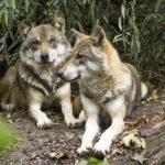 Video superb. Doi lupi, la plimbare, în Parcul Natural Apuseni!