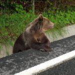 Ai grijă dacă te încumeți să hrănești urșii: ai putea fi amendat, spun oficialii Guvernului