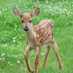 VIDEO. Întâlnire cu Bambi într-o pădure din România!