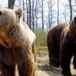 Video spectaculos: luptă surprinsă între urși!